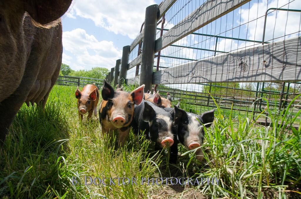 1305_Spruce Ridge piglets_059