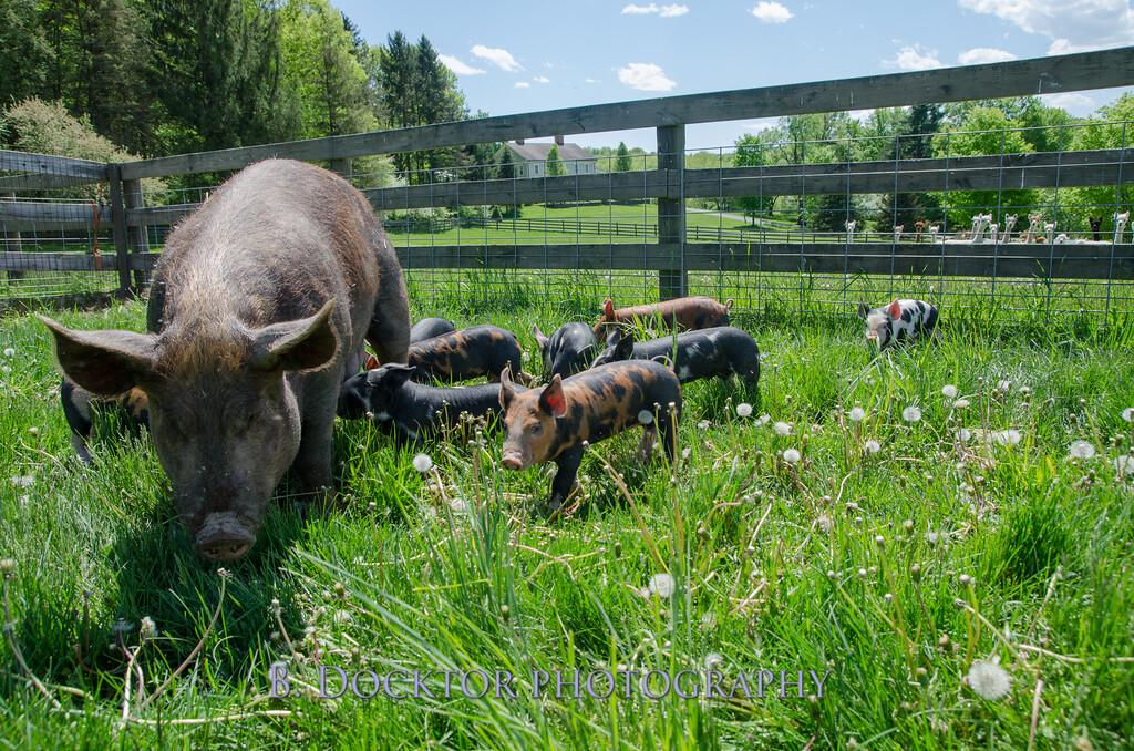 1305_Spruce Ridge piglets_043
