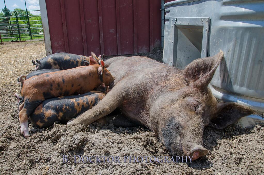 1305_Spruce Ridge piglets_004