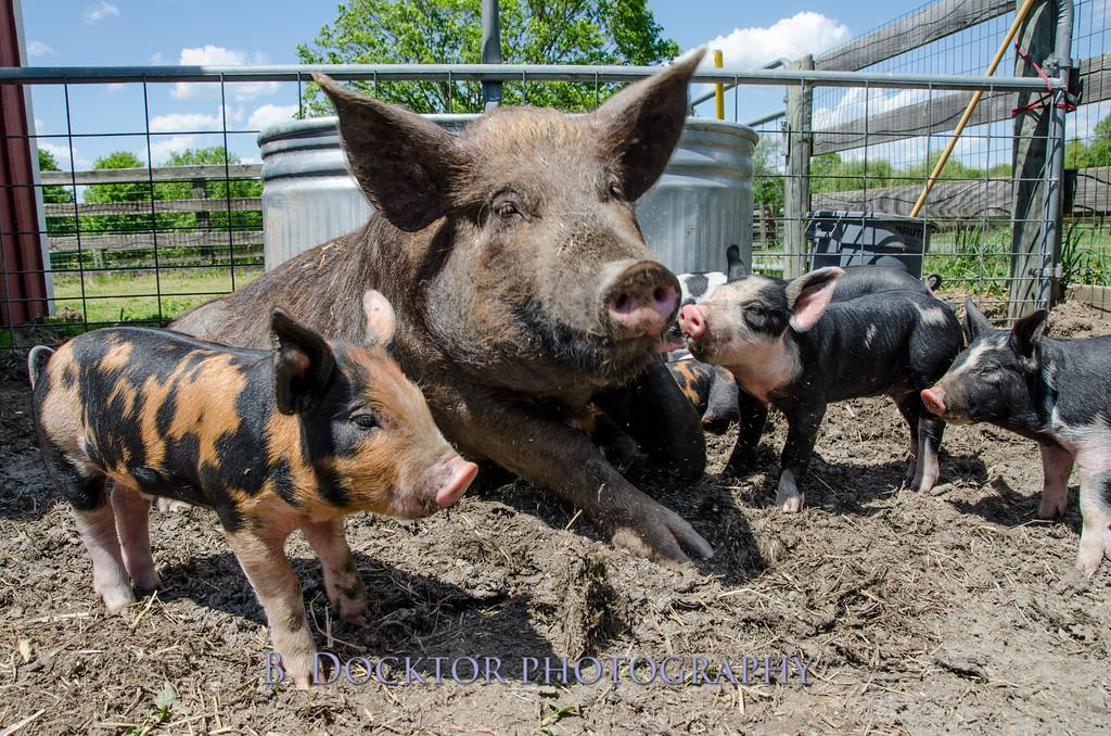 1305_Spruce Ridge piglets_016