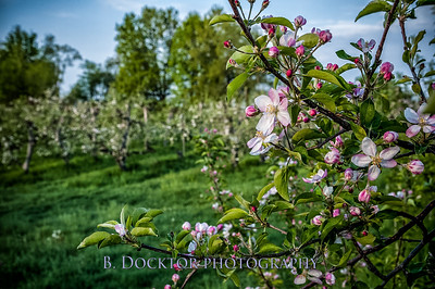 Thompson Finch Spring Orchard & fields-23-Edit