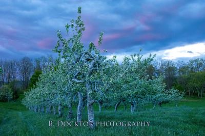 1705_Thompson Finch apple trees at dusk_006-Edit