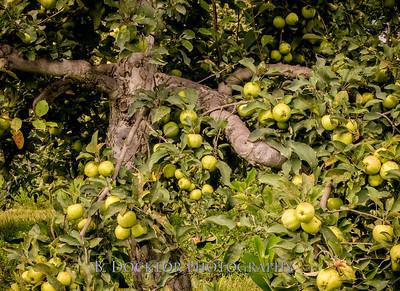 1508_Thompson Finch apples_010-Edit