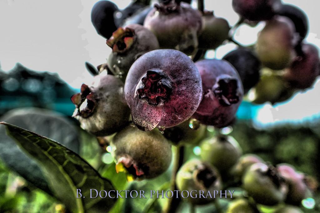 1708_Thompson Finch blueberries macro_003-Edit