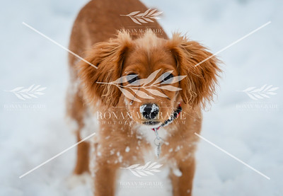 This little puppy enjoyed her run about in the snow in Enniskillen.  Picture: Ronan McGrade
