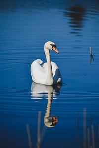 Swan_02