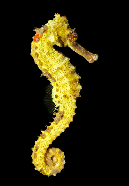 Spotted seahorse (Hippocampus kuda)