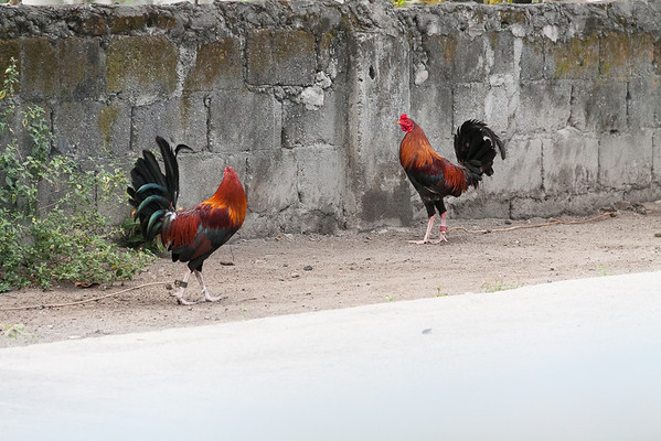 Cockfighting roosters