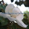 Charleston magnolia