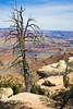 Grand Canyon dead tree