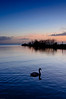 A lone swan searches for its mate in the twilight at Lough Neagh
