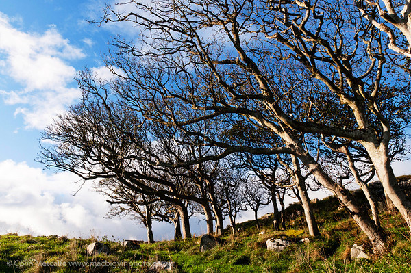 A group of trees, bleached with age, at Mussenden Temple, County Londonderry.
