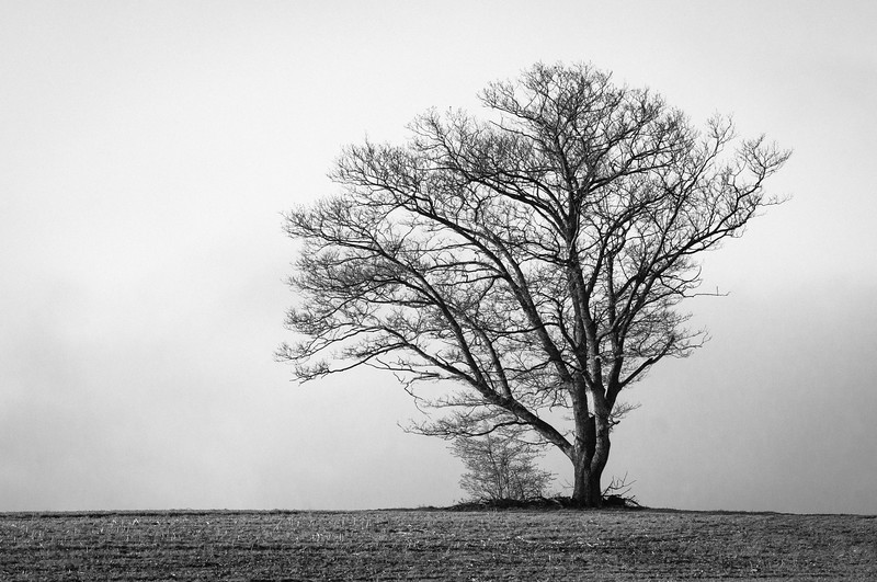 Earlier today I posted a pic of this tree in a field which I shot using a specially converted Nikon D200 that only shoots in infra red.  This image I used a regular camera body, and then converted the image to black and white in Lightroom CC.  The images were shot just 5 minutes apart - but check out the extreme difference in the sky & ground!<br /> <br /> Geek Specs:<br /> Nikon D300s  <br /> Nikon 70-200mm VRII @92mm <br /> 1/500th  <br /> ISO 200<br /> f/13<br /> Handheld