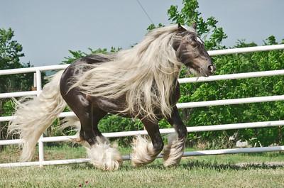 4C's Gypsy Horses, Blanchard OK, USA