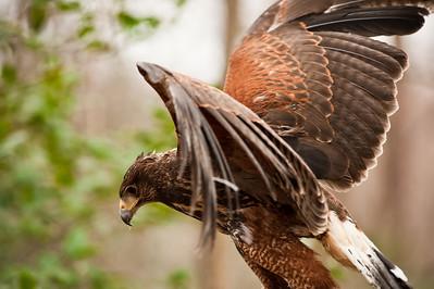 Raptor Conservancy of Virginia-26