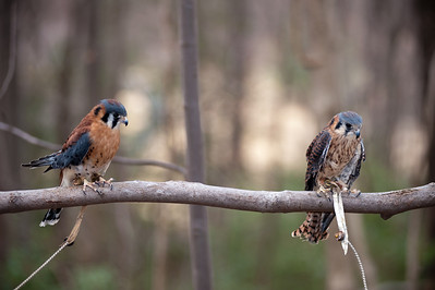 Raptor Conservancy of Virginia-15