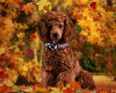 Jaxson - Fall Leaves-16x20 Backdrop