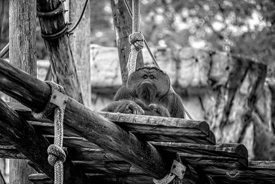 Pappy Orangutan-B&W-7