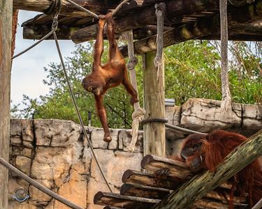 Young Hanging Orangutan-39