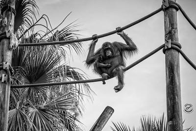 Orangutans on a Rope-B&W-16