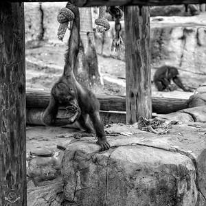 Bowing Orangutan-B&W-23