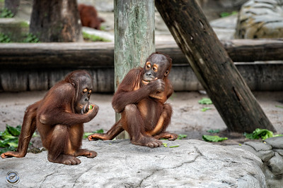 Two Young Orangutans-20