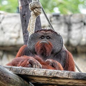 Pappy Orangutan-7-2