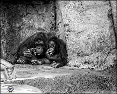 Two Orangutans-B&W-11
