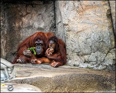 Two Orangutans-11