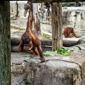 Bowing Orangutan-23