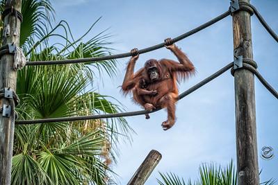 Orangutans ona Rope-16