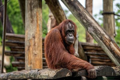 Big Orangutan-26