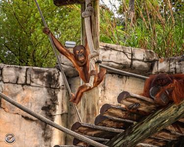 Baby Orangutan-36