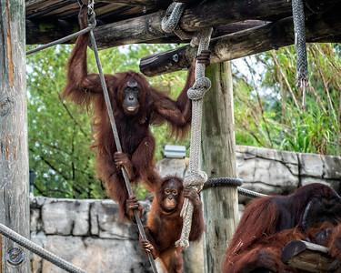 three Orangutans-19