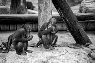 Two Young Orangutans-B&W-20