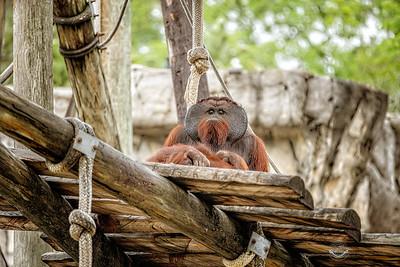 Pappy Orangutan-Grad-7