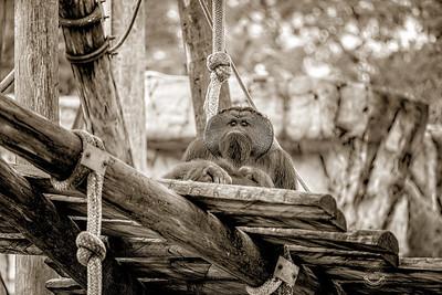 Pappy Orangutan-B&W-Grad-7