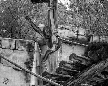 Baby Orangutan-B&W-36