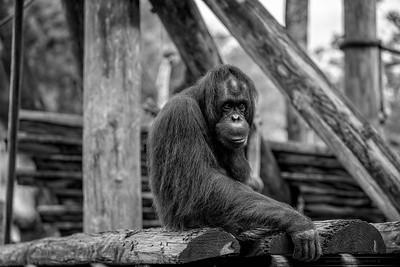 Big Orangutan-B&W-26