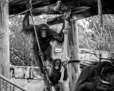 three Orangutans-B&W-19