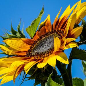 Sunflower - square