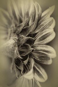 shades of Sunflower