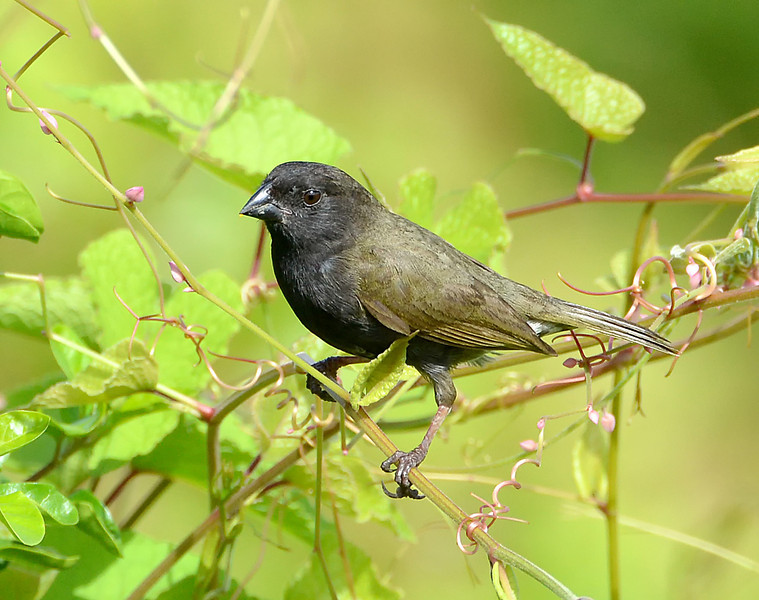 Black-faced grassquit, Antigua, by Ted Lee Eubanks.
