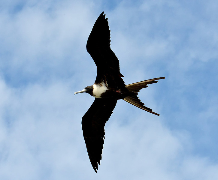 Magnificent frigatebird, Barbuda, by Ted Lee Eubanks.