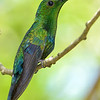 Green-throated carib, Antigua, by Ted Lee Eubanks.