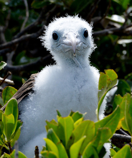 Magnificent frigatebird chick, Barbuda, by Ted Lee Eubanks.
