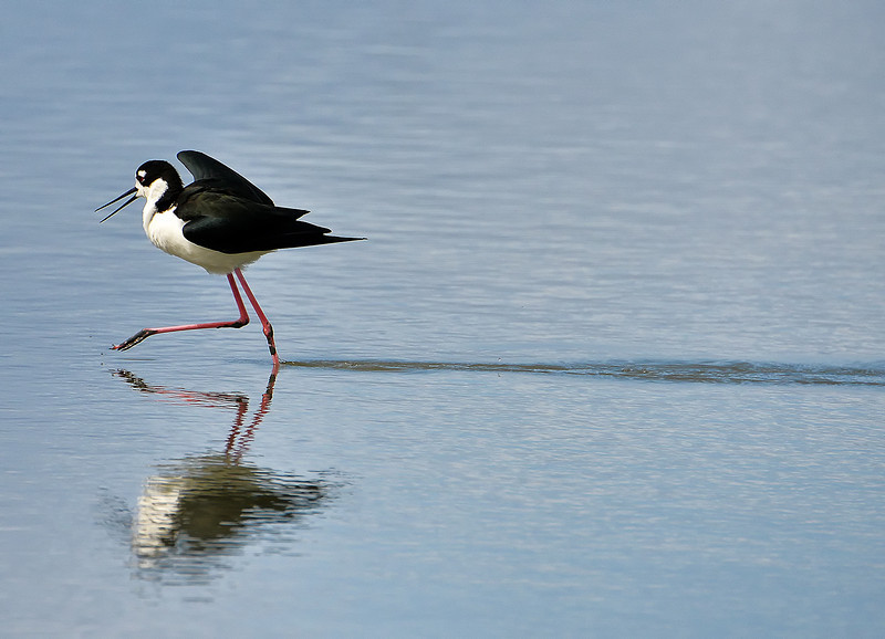 Black-necked stilt, Antigua, by Ted Lee Eubanks.