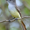 Lesser Antillean flycatcher, Barbuda, by Ted Lee Eubanks.