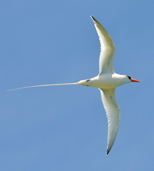 Red-billed tropicbird, Antigua, by Ted Lee Eubanks.