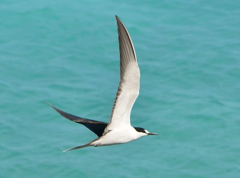 Sooty tern, Antigua, by Ted Lee Eubanks.